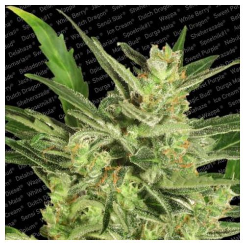 Auto Maria II Auto Flowering Female Cannabis Seeds by Paradise Seeds