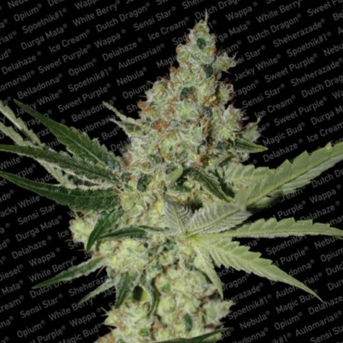 Acid Female Cannabis Seeds by Paradise Seeds