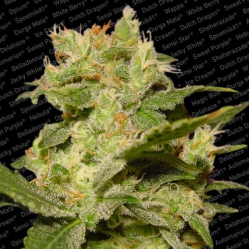 Auto Jack AutoFlowerer Female Cannabis Seeds by Paradise Seeds