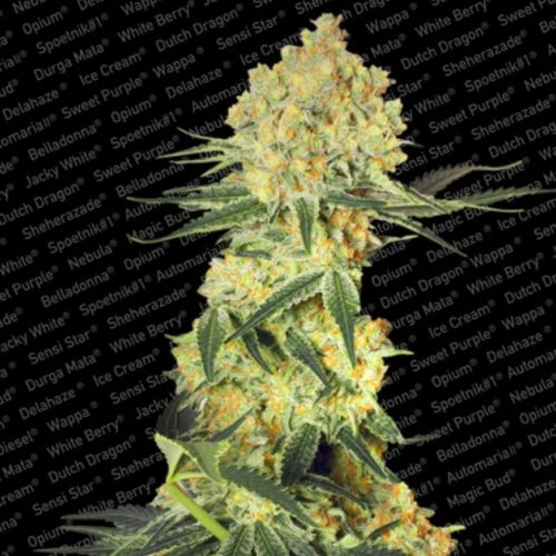 Auto Wappa AutoFlowering Female Cannabis Seeds by Paradise Seeds