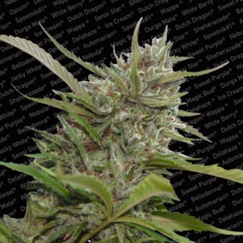 Auto Whiteberry AutoFlowering Female Cannabis Seeds by Paradise Seeds