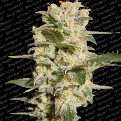 Bella Donna Female Cannabis Seeds by Paradise Seeds