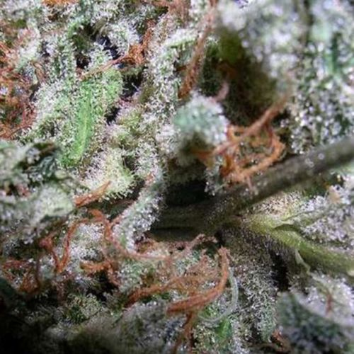 Indica Champion Pack Female Cannabis Seeds by Paradise Seeds