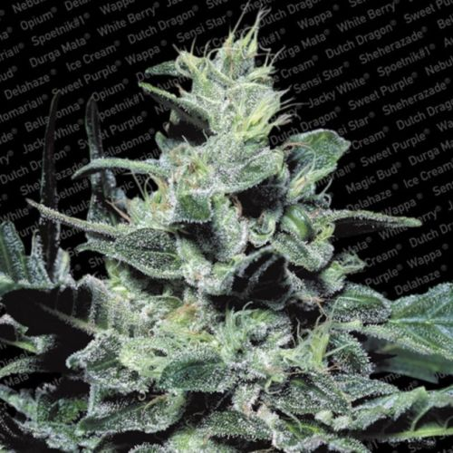 Nebula Regular Cannabis Seeds by Paradise Seeds