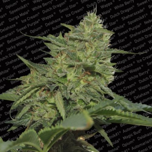 Original Cheese Female Cannabis Seeds by Paradise Seeds