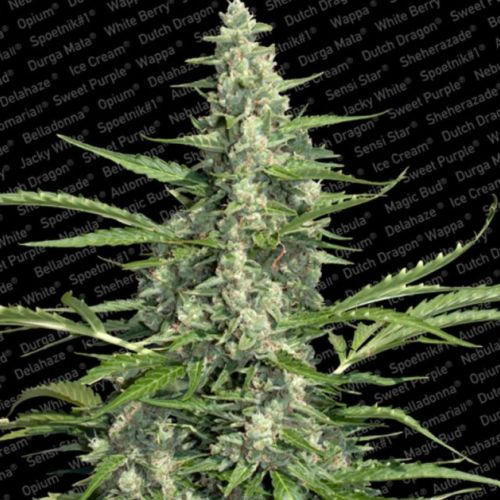 Pandora Auto Flowering Female Cannabis Seeds by Paradise Seeds