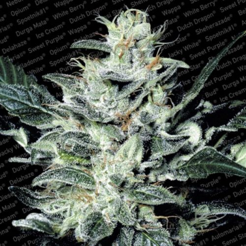 Sensi Star Female Cannabis Seeds by Paradise Seeds