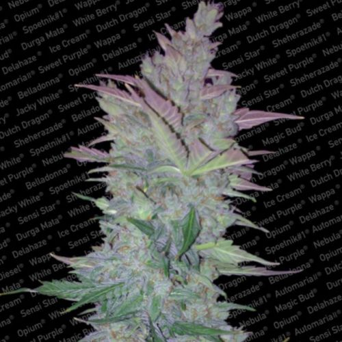 Vertigo Auto Flowering Cannabis Seeds by Paradise Seeds