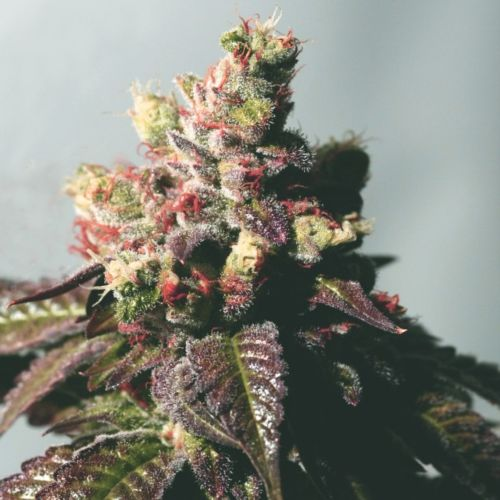 Passion Berry - The Gold Line - Female Cannabis Seeds by The Cali Connection
