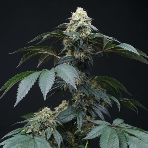 Peach Lassi Regular Cannabis Seeds by Perfect Tree Seeds