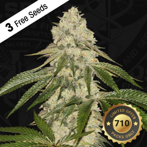 Pisthash Female Cannabis seeds by T.H.Seeds