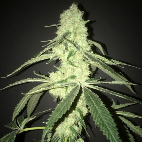 Her Majesty's Kush Female Cannabis Seeds by Pot Valley Seeds