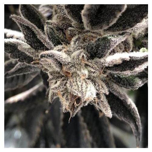 Punch the Cake Female Cannabis Seeds by The Plug Seedbank
