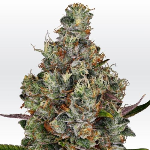 Rainbow Road Female Cannabis Seeds by Paradise Seeds