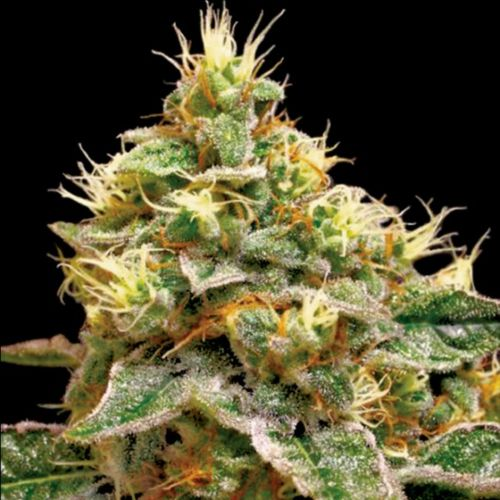 Confidential Cheese Female Cannabis Seeds by Reserva Privada