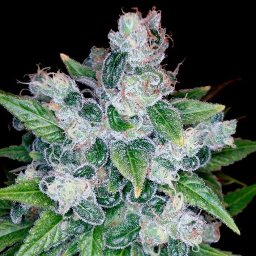 Kandy Kush Female Cannabis Seeds by Reserva Privada