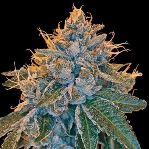 Kosher Kush Female Cannabis Seeds by DNA Genetics