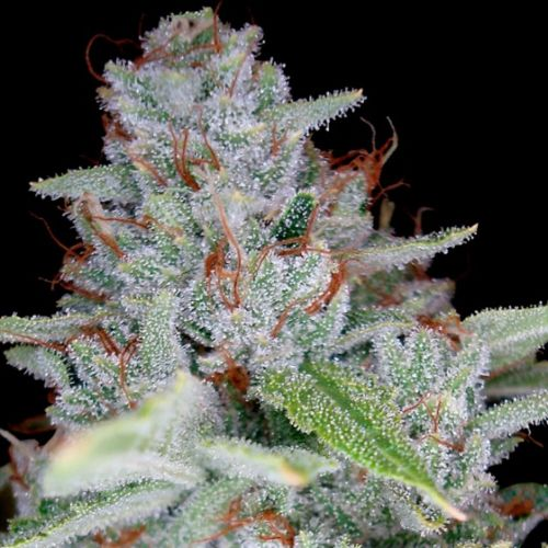 Skywalker Kush Female Cannabis Seeds by Reserva Privada