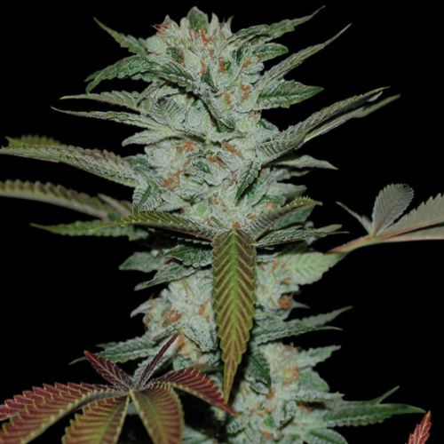 Sour Kush Female Cannabis Seeds by Reserva Privada