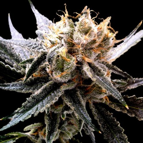 Sour Tangie Female Cannabis Seeds by Reserva Privada