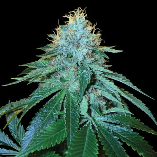 The OG #18 Female Cannabis Seeds by Reserva Privada