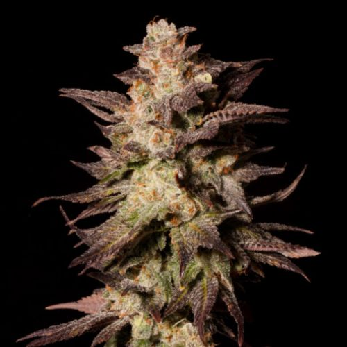 Royal Limez Cannabis Seeds by Emerald Mountain Legacy