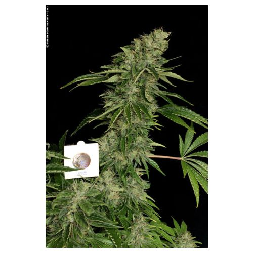 Sage n' Sour Female Cannabis Seeds by T.H.Seeds