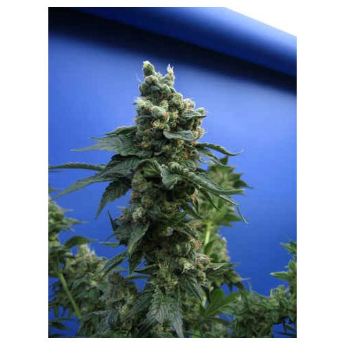 Sage'n Sour® Regular Cannabis Seeds by T.H.Seeds