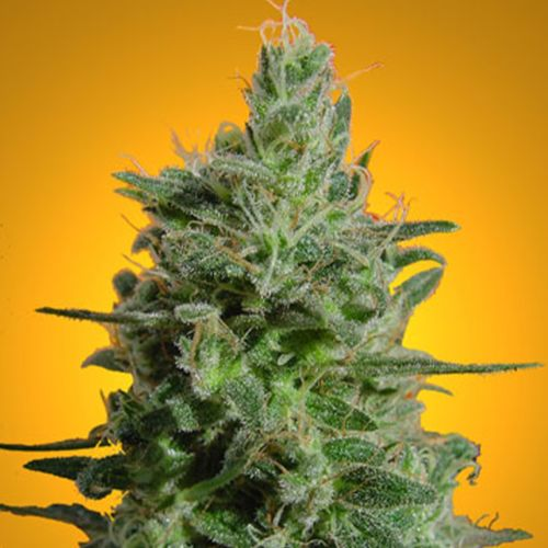 Sativa Champion Pack Female Cannnabis Seeds by Paradise Seeds