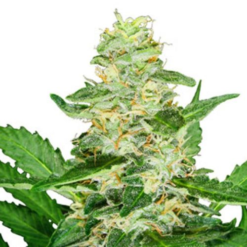 Sensi Seeds Super Skunk Auto Flowering Cannabis Seeds