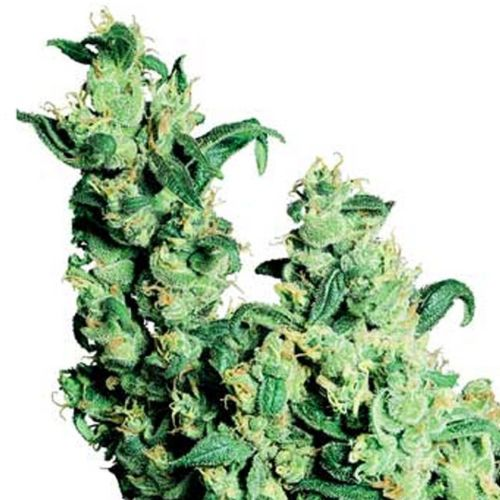 Jack Herer Cannabis Seeds
