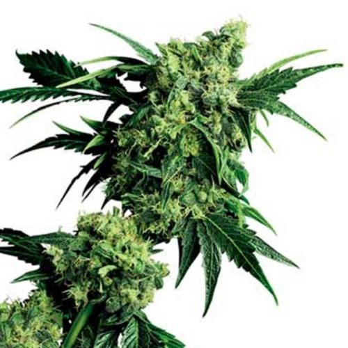 Mr Nice G13 x Hash Plant Cannabis Seeds