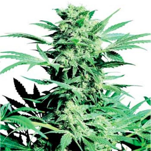 Shiva Skunk Feminized Marijuana Seeds