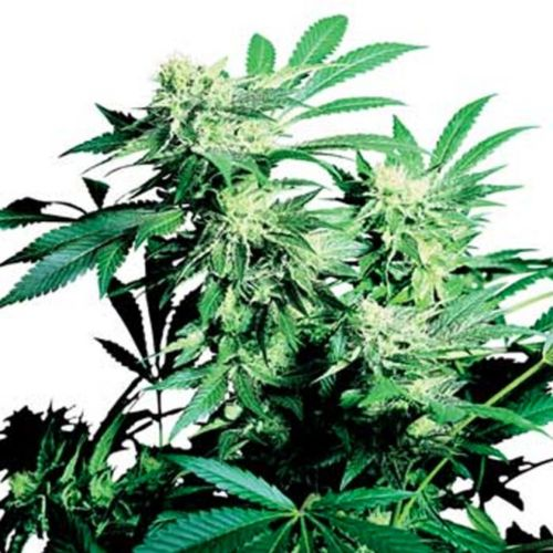 Skunk Kush Feminized Cannabis Seeds