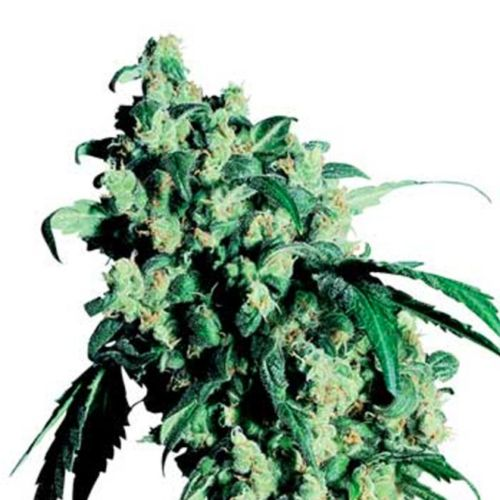 Super Skunk Cannabis Seeds by Sensi Seeds