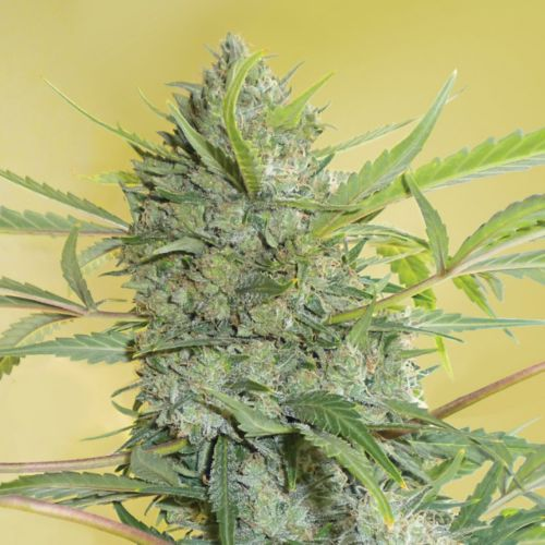 Serious Happiness Regular Cannabis Seeds by Serious Seeds