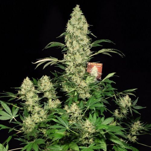 AK-47 Female Cannabis Seeds by Serious Seeds