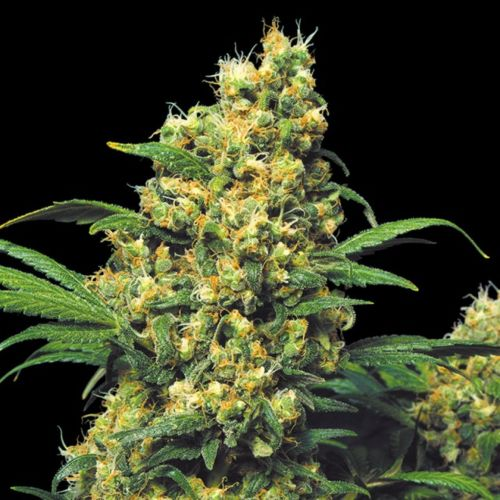 Warlock Female Cannabis Seeds by Serious Seeds
