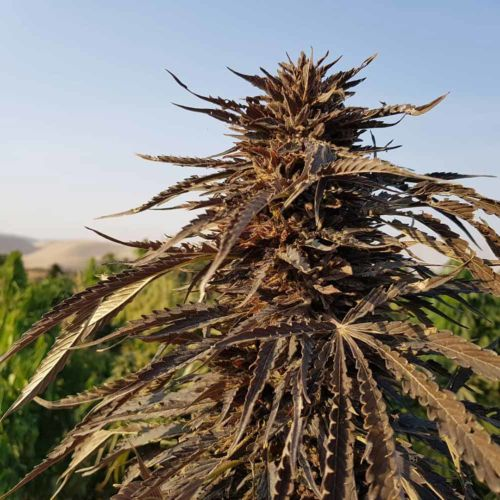 Sholgar Regular Cannabis Seeds by Afghan Selection