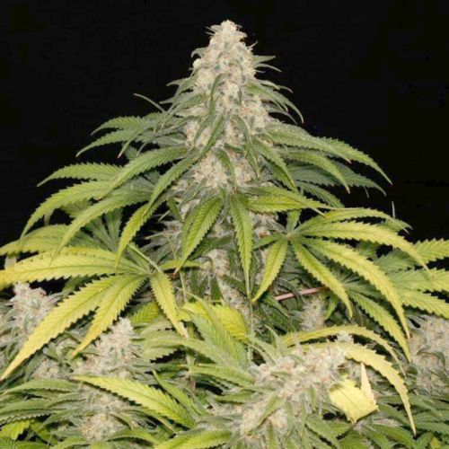 Sour Grape Kush S1 Feminized Cannabis Seeds by Ultra Genetics