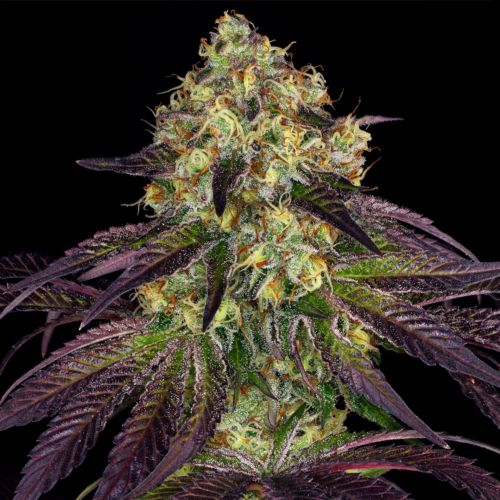 Stracciatella Female Cannabis Seeds by T.H.Seeds - a.k.a Do-Si-Dos x SBC