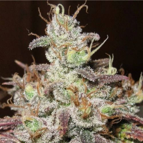 Sugar Tits Regular Cannabis Seeds by Ultra Genetics
