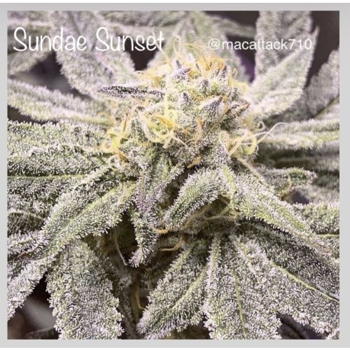 Sundae Sunset Female Cannabis Seeds by Cannarado Genetics
