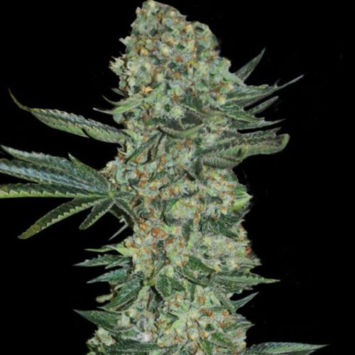 Enemy of the State Female Cannabis Seeds by Super Strains