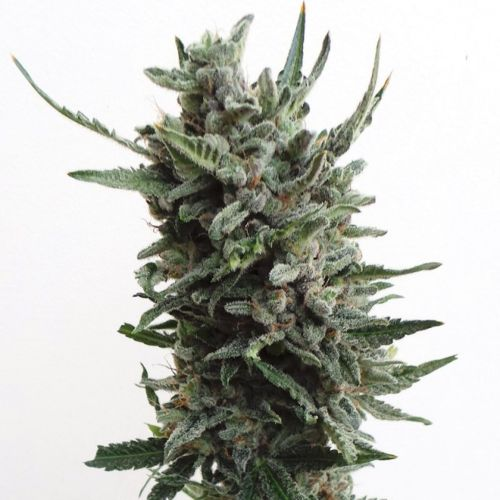 Automatic Critical Hog Feminised Cannabis Seeds by T.H.Seeds