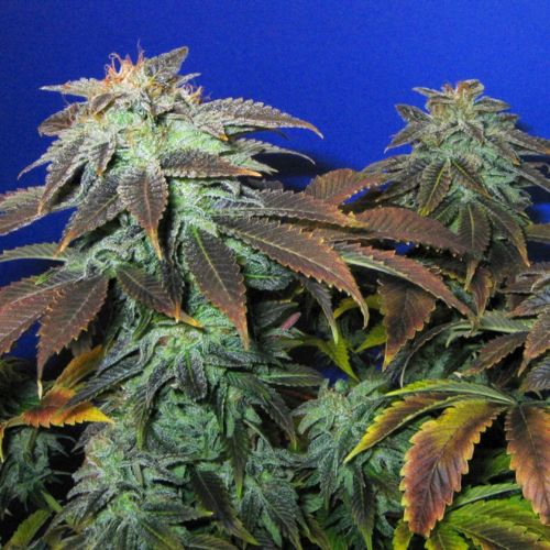 Heavy Duty Fruity Regular Cannabis Seeds by T.H.Seeds
