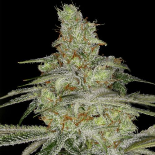 Tangie Ghost Train Female Cannabis Seeds by Little Chief Collabs