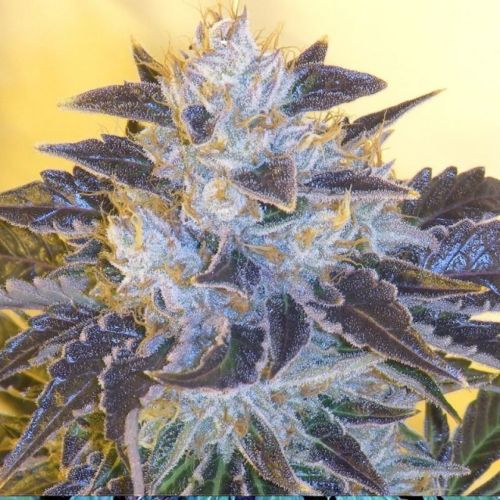 Grape OG Female Cannabis Seeds by The Cali Connection