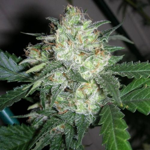 OGiesel Female Cannabis Seeds by The Cali Connection