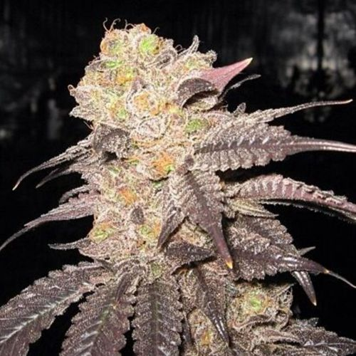 Purple Diesel Female Cannabis Seeds by The Cali Connection